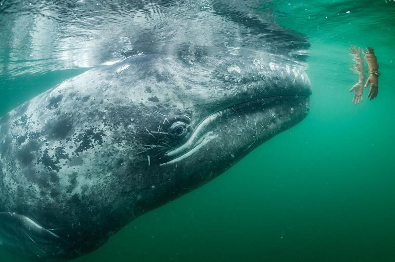 Турист на лодке в лагуне Сан-Игнасио подыплыл ближе, чтобы погладить серого кита.