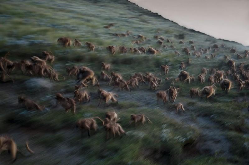 Ночью гелады бегут вниз по склону к утесам, где они будут в безопасности от хищников.