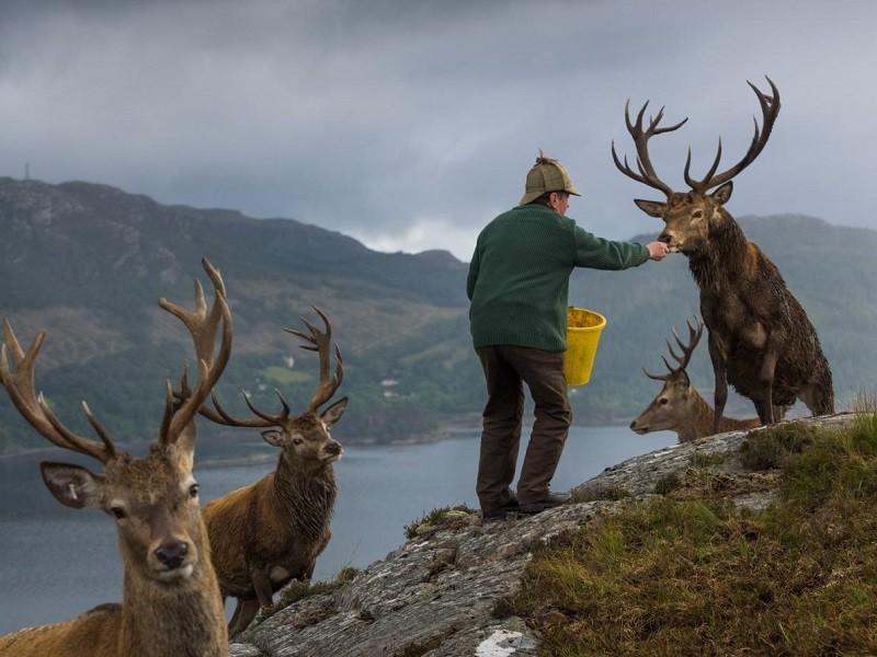 Колин Мердок кормит оленей в лесу Ререйга, чтобы стимулировать рост рогов.