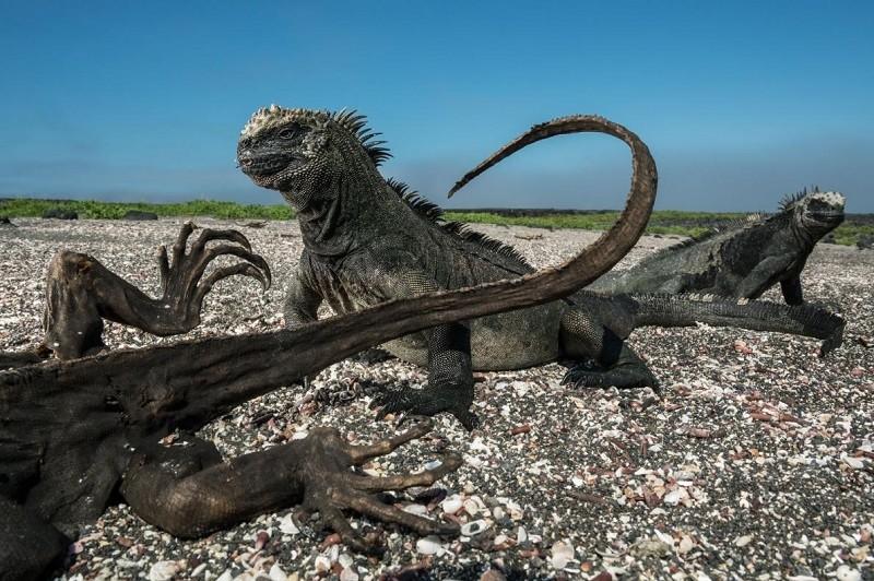 Морские игуаны возле околевшего собрата, который, вероятно, умер от голода. Эти ящерицы достигают размеров енота и питаются в основном водорослями.