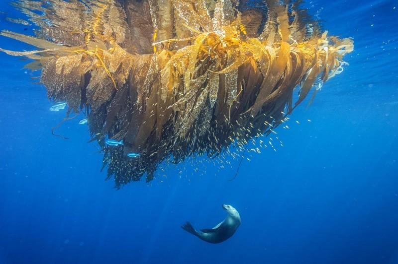 Калифорнийский морской лев охотится на рыбу около банки Кортеса.
