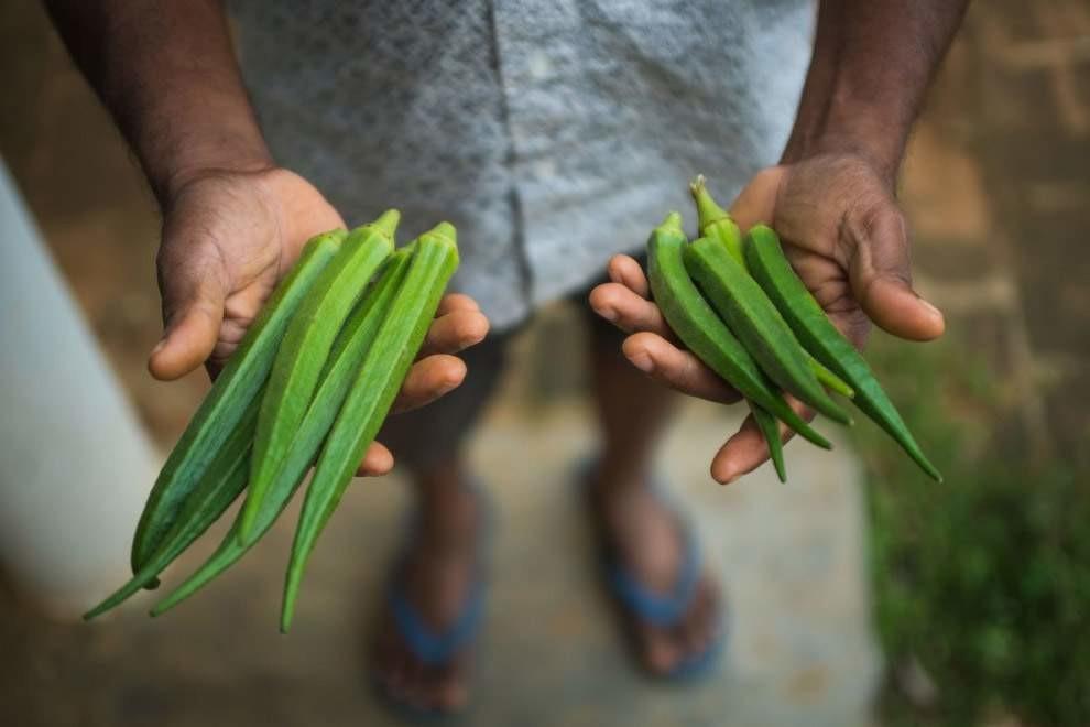 Абельмош съедобный, или дамские пальчики — съедобное растение. Фермер держит в руках овощи, выращенные за один и тот же период, только левые поливались автоматизированной системой, а правые — вручную, из лейки.