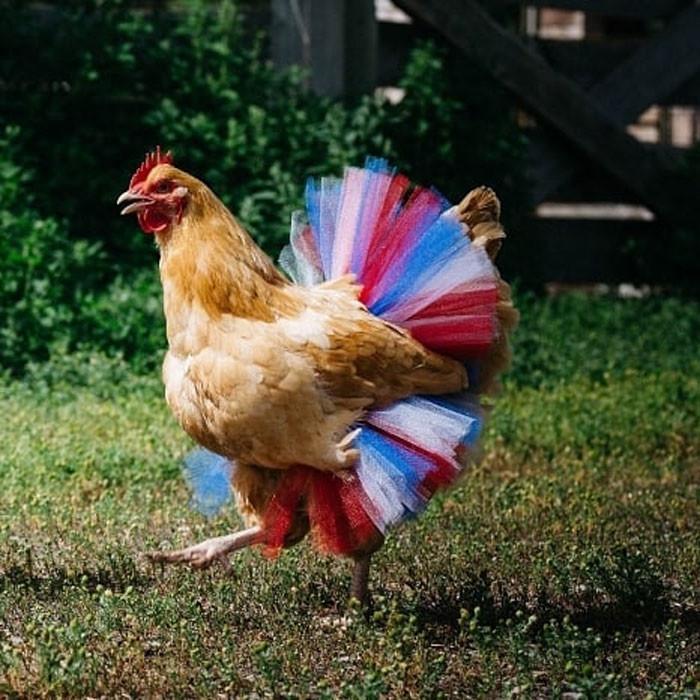 курица фото картинки прикольные нормы помещению
