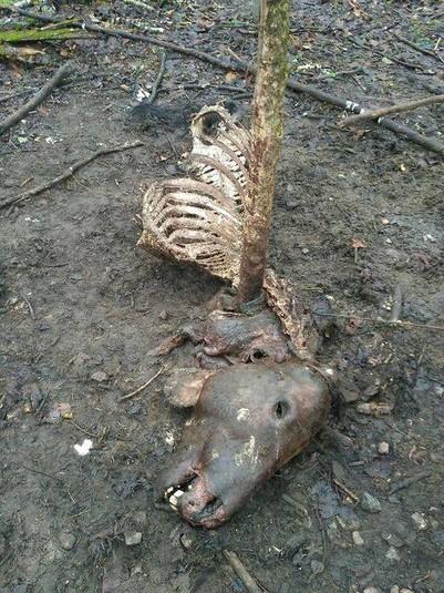 Із зашморгами на шиях: у Чорнобильській зоні невідомі вбили коней Пржевальського (шокуючі фото)