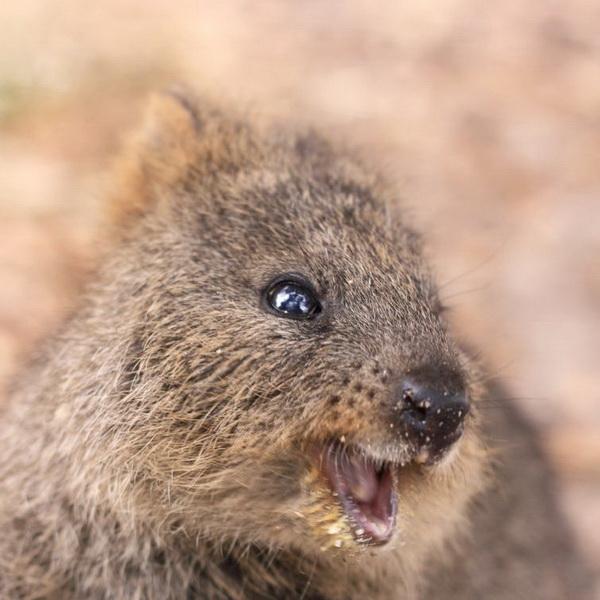 Квокка - самые счастливые «плюшевые» зверята в мире (ФОТО)
