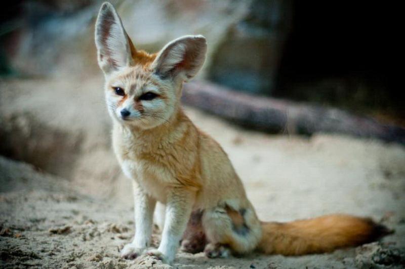 Фото красивых лисиц