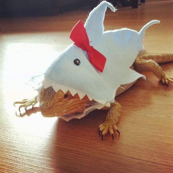 Акула - бородатая ящерица