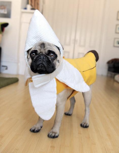Мопс-банан