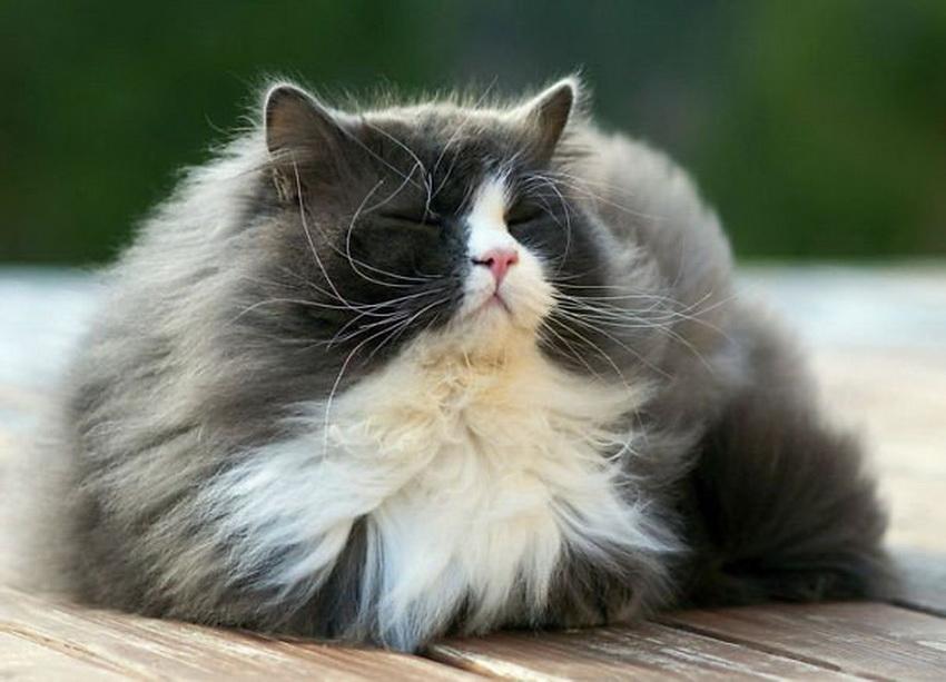 фото котов пушистых